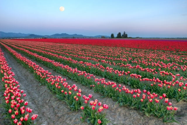 Evening Tulip Field