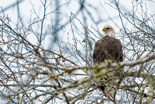 Lake Quinault Eagle